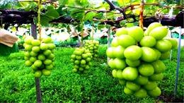 Nhật Bản cấm mang ra nước ngoàihạt giống cây trồng, cây giống