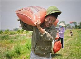 Thu hoạch lúa chiêm xuân ở Bắc Giang