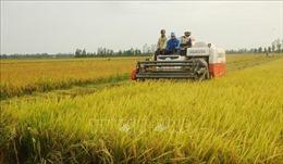 Bạc Liêu sẵn sàng phương án hỗ trợ thu hoạch, tiêu thụ lúa