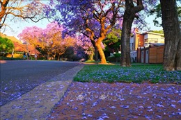 Quyến rũ mùa hoa phượng tím ở Pretoria, Nam Phi