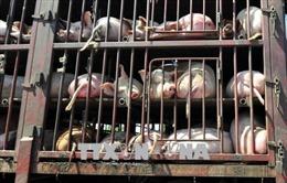 Bùng phát dịch cúm lợn châu Phi tại nông trại lợn giống lớn nhất Romania