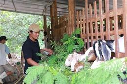Thanh niên nông thôn liên kết chăn nuôi dê sạch