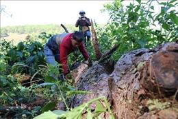 Tái diễn 'bức tử' rừng thông để lấn chiếm đất rừng