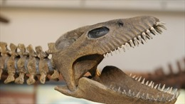 Argentina triển lãm mô hình bộ xương khủng long 65 triệu năm tuổi