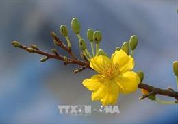 Mai vàng rộn ràng vào mùa Tết
