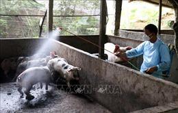Tuyên Quang phát hiện 100 con lợn nghi mắc bệnh lở mồm, long móng
