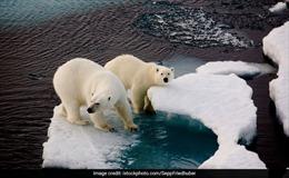 Gấu trắng Bắc Cực 'xâm lược tập thể' quần đảo Novaya Zemlya, Nga