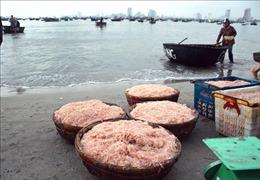 Ngư dân trúng đậm mùa ruốc biển đầu năm