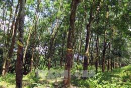 Dự án trồng cây cao su tại tỉnh Kampong Thom, Campuchia