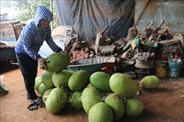 Mít Thái tăng giá, nông dân thu lãi lớn