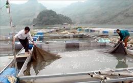 Chế biến nước mắm từ cá nước ngọt lòng hồ sông Đà