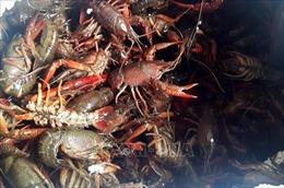 Quảng Ninh tăng cường kiểm tra việc mua bán, vận chuyển, nuôi tôm càng đỏ