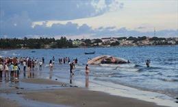 Xác cá Ông nặng hơn 15 tấn dạt vào vùng biển Mũi Né, Bình Thuận