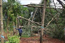 Lốc xoáy tàn phá cây điều, cao su ở Bù Gia Mập, Bình Phước