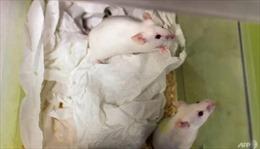 Các nhà khoa học Nhật Bản sẽ thử nghiệm nuôi cấy cơ quan người trên động vật