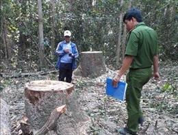 Khởi tố vụ án cưa trộm gỗ tại Khu rừng phòng hộ Dầu Tiếng