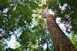 Phát hiện cây cao nhất rừng nhiệt đới Amazon