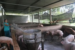 Dịch tả lợn châu Phi tiếp tục diễn biến phức tạp, nguy cơ lan rộng