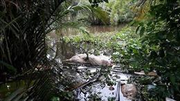 Dịch tả lợn châu Phi: Xử lý nghiêm hành vi vứt xác lợn ra môi trường