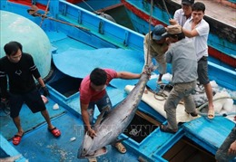 Giá cá ngừ đại dương ở mức thấp 100.000 đồng/kg