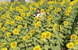 Hàng trăm nghìn người đến 'check in' vườn hoa hướng dương ở phố núi Pleiku