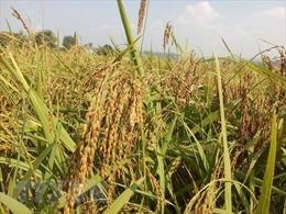 Lúa nếp ở Đồng Tháp đạt năng suất gần 9 tấn/ha