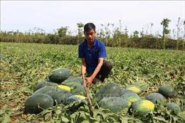 Hỗ trợ nông dân tiêu thụ dưa hấu