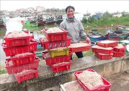 Ngư dân Quảng Bình được mùa ruốc biển