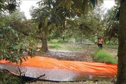 Hạn mặn khốc liệt đe dọa vùng trồng cây ăn quả đầu nguồn sông Tiền
