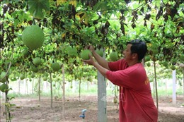 Chuyển đổi cây trồng thích nghi với thời tiết cho hiệu quả kinh tế cao