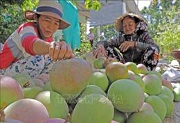 'Thủ phủ' xoài Úc Cam Lâm đã xuất khẩu trở lại