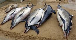 Cá heo chết dạt vào bờ biển Hoằng Trường (Thanh Hoá)