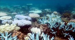 Rạn san hô Great Barrier bị tẩy trắng phạm vi rộng chưa từng thấy