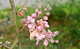 Hoa Ô môi nhuộm hồng cả miền quê yên bình