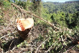 Lâm Đồng: Khởi tố cán bộ ngành Nông nghiệp vi phạm quy định về quản lý rừng