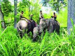 Bảo tồn voi Tây Nguyên - Thực trạng và giải pháp