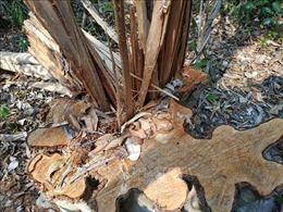Ngang nghiên phá rừng ở khu vực giáp ranh giữa Đắk Lắk và Gia Lai