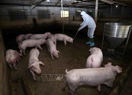 Hỗ trợ hơn 270 tỷ đồng cho hộ chăn nuôi tại Hưng Yên bị thiệt hại do dịch tả lợn châu Phi