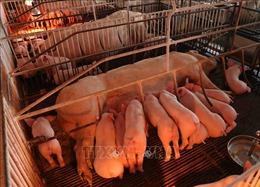 Tái đàn nhanh sau dịch bệnh để bình ổn thị trường thịt lợn