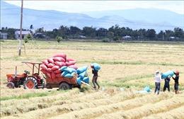 Xác minh, xử lý việc thương lái nợ tiền thu mua lúa của hàng chục người dân