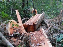 Phát hiện vụ khai thác gỗ trái phép tại xã Hòa Lễ, huyện Krông Bông