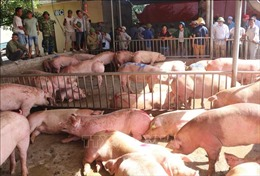Giá lợn hơi nhiều tỉnh, thành có xu hướng giảm