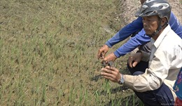 Nguyên nhân khiến lúa chết non ở huyện vùng biên Đồng Tháp