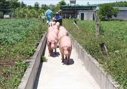 Giá lợn sống nhập khẩu về đến chợ đầu mối gia súc ở Hà Nam vẫn cao