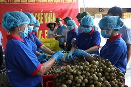 Hải Dương chuẩn bị xuất khẩu lô nhãn đầu tiên sang Australia và Singapore