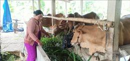 Hiệu quả cao từ mô hình nuôi bò kinh tế