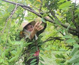 Làm giàu từ cây na dai ở Bồ Lý