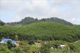 Hiệu quả từ trồng rừng sản xuất tại Đắk Lắk