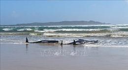Ít nhất 380 con cá voi chết trong vụ mắc kẹt lớn ở Australia