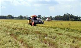 Nông dân Kiên Giang lãi 30 - 40% từ lúa Thu Đông
